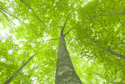 Blick von unten in die Baumkronen eines grünen Waldes